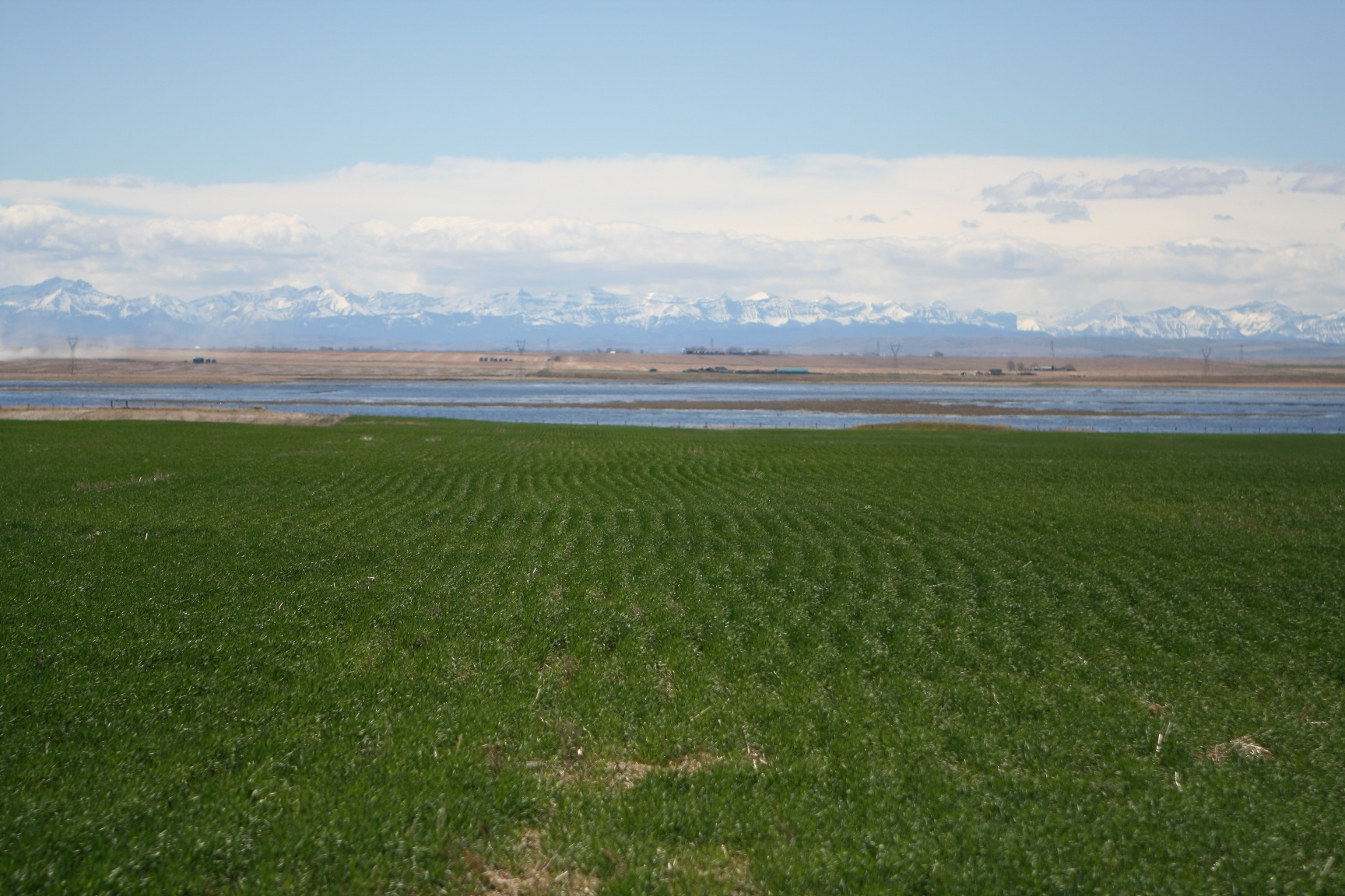 Winter wheat in AB